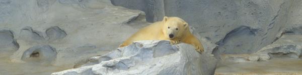 polarbearbanner